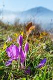 Açafrões selvagens de florescência Foto de Stock Royalty Free