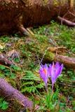Açafrões selvagens na floresta da mola Fotografia de Stock