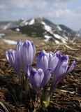 Açafrões selvagens nas montanhas Fotos de Stock