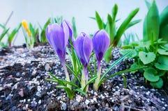 Açafrões selvagens roxos que florescem na mola Imagem de Stock