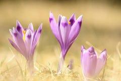 Açafrões selvagens violetas da mola Fotos de Stock Royalty Free