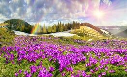 Açafrões sob Chernogora Foto de Stock