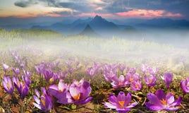 Açafrões solares da flor Fotografia de Stock Royalty Free
