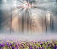 Açafrões solares da flor Foto de Stock Royalty Free