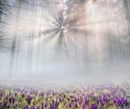 Açafrões solares da flor Foto de Stock