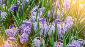 Açafrões vibrantes luxúrias brancos violetas bonitos macro do close-up, spr Imagens de Stock Royalty Free