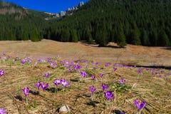 Açafrões vibrantes violetas em um prado Fotos de Stock Royalty Free