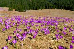 Açafrões vibrantes violetas em um prado Foto de Stock Royalty Free
