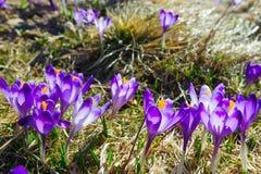 Açafrões vibrantes violetas em um prado Fotografia de Stock Royalty Free