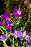Açafrões violetas Fotos de Stock Royalty Free