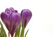 Açafrões violetas Fotos de Stock