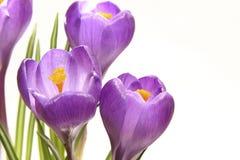 Açafrões violetas Imagem de Stock Royalty Free