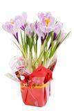 Açafrões violetas Fotografia de Stock Royalty Free