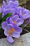 Açafrões violetas Imagem de Stock