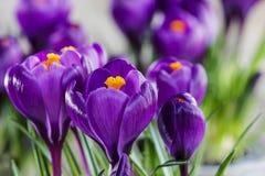 Açafrões violetas bonitos Fotografia de Stock Royalty Free