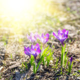 Açafrões violetas bonitos Foto de Stock