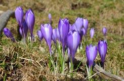 Açafrões violetas bonitos Imagens de Stock Royalty Free