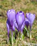 Açafrões violetas bonitos Imagem de Stock Royalty Free