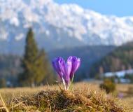 Açafrões violetas bonitos Foto de Stock Royalty Free