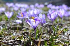 Açafrões violetas bonitos Fotografia de Stock