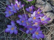 Açafrões violetas bonitos em uma floresta Fotografia de Stock