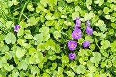 Açafrões violetas bonitos em uma grama verde Fotografia de Stock Royalty Free
