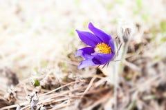 Açafrões violetas bonitos Imagem macro, foco seletivo Imagem de Stock