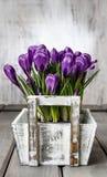 Açafrões violetas bonitos na caixa de madeira branca Fotos de Stock Royalty Free