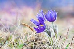 Açafrões violetas bonitos na grama na montanha Foto de Stock