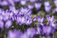 Açafrões violetas bonitos na primavera Fotos de Stock