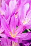 Açafrões violetas bonitos na primavera Imagens de Stock