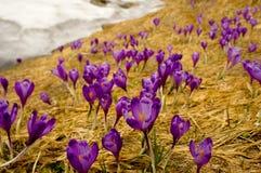 Açafrões violetas bonitos na primavera Fotografia de Stock Royalty Free