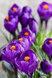 Açafrões violetas bonitos no fundo cinzento Fotografia de Stock