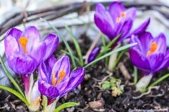 Açafrões violetas bonitos no jardim Fotos de Stock