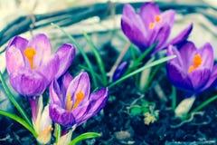 Açafrões violetas bonitos no jardim Foto de Stock