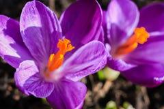 Açafrões violetas bonitos no jardim em um dia ensolarado Foto de Stock