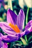 Açafrões violetas bonitos no jardim, tiro macro Imagem de Stock Royalty Free