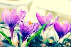 Açafrões violetas bonitos no jardim, tiro macro Imagens de Stock Royalty Free
