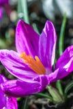 Açafrões violetas bonitos no jardim, tiro macro Foto de Stock