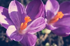 Açafrões violetas bonitos no jardim, tiro macro Fotografia de Stock
