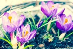 Açafrões violetas bonitos no jardim, tiro macro Imagem de Stock