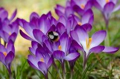 Açafrões violetas com abelhão Fotografia de Stock