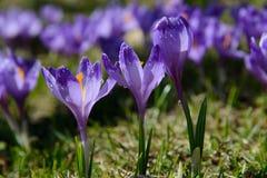 Açafrões violetas com gotas da água Imagens de Stock Royalty Free