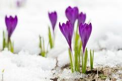 Açafrões violetas da mola Fotografia de Stock Royalty Free