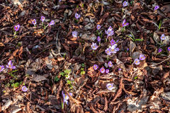 Açafrões violetas da mola na floresta Foto de Stock Royalty Free
