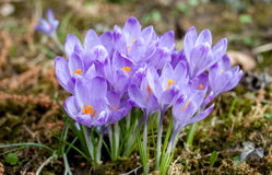 Açafrões violetas da mola na floresta Imagem de Stock Royalty Free