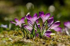 Açafrões violetas da mola no fundo verde Imagens de Stock Royalty Free