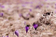 Açafrões violetas de florescência Imagens de Stock Royalty Free