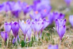 Açafrões violetas de florescência Imagens de Stock