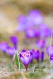 Açafrões violetas de florescência Foto de Stock